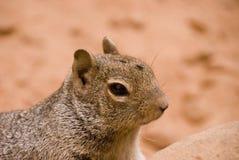 与一次飞行的石松鼠在他的头 图库摄影