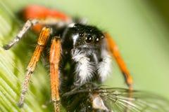 与一次飞行的蜘蛛本质上 宏指令 免版税库存图片