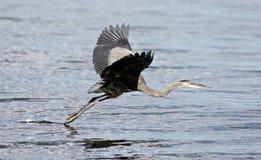 与一次滑稽的巨大苍鹭飞行的美丽的照片在水附近 免版税库存图片