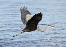 与一次滑稽的巨大苍鹭飞行的美好的图象在水附近 免版税库存图片