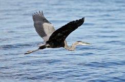 与一次滑稽的巨大苍鹭飞行的美好的背景在水附近 库存图片