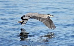 与一次滑稽的巨大苍鹭飞行的美好的被隔绝的图片在水附近 免版税库存图片