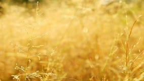 与一点风的接近的草地在日落的温暖的太阳光在 4k决议29的晚上夏天 97个每秒传输帧数没有s 股票录像