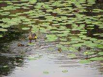 与一点鸭子巢的母亲鸭子在池塘的在黄色荷花中 免版税库存照片