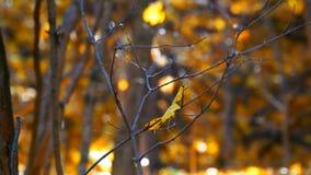 与一片下落的黄色叶子的分支在秋天森林里 股票视频