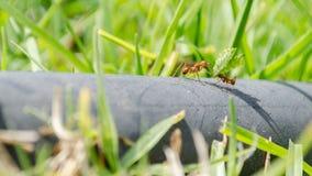 与一片叶子的工作的蚂蚁在水管 库存图片
