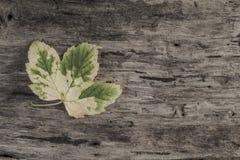 与一片叶子的秋天模板在木背景 免版税库存照片