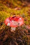与一片叶子的红色蘑菇在一个帽子在秋天森林里 库存照片