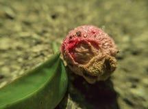 与一片小绿色叶子的莓果岩石表面上 库存图片