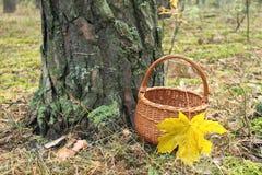 与一片枫叶的柳条筐在杉木森林里 库存照片