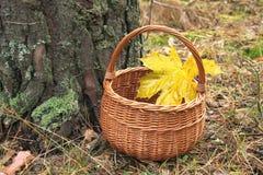 与一片枫叶的柳条筐在杉木森林里 免版税图库摄影
