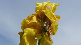 与一片生锈的叶子的一朵黄色虹膜花在一个晴天在夏天 股票录像