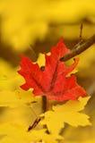 与一片红色叶子的秋叶 免版税图库摄影