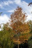 与一片红色黄色秋天叶子的槭树 免版税库存图片