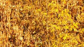 与一片黄色叶子的分支在秋天森林里 股票录像
