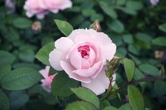 与一片黑暗的中间,绿色叶子和未打开的芽的一朵淡粉红的玫瑰,在绿色被弄脏的背景,在蓝色口气 库存图片