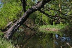 与一片绿色叶子的大树在小的河上在一个晴天 免版税图库摄影