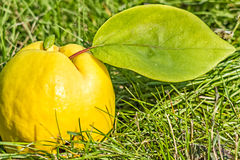 与一片绿色叶子的成熟黄色柑橘在草 免版税库存图片