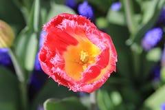 与一片黄色心脏和crenated叶子的桃红色郁金香 免版税库存照片