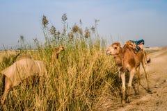 与一盒的一头骆驼它的后面在科威特沙漠 免版税库存图片