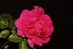 与一种桃红色活泼的颜色的壮观的花 夜射击-前面wiev 免版税图库摄影