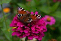 与一种美好的明亮的颜色的一只蝴蝶坐一朵桃红色花反对庭院的色的背景 免版税图库摄影