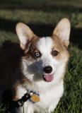 与一蓝色和棕色眼睛微笑的小狗 免版税库存照片