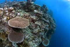 与一许多的一块浅礁石桌珊瑚殖民地 库存图片