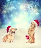与一起圣诞老人帽子的两条达克斯猎犬狗 免版税库存照片