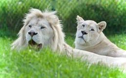 与一起放置两头白色的狮子的图片 免版税库存照片