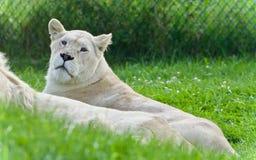 与一起放置两头白色的狮子的背景 免版税库存图片