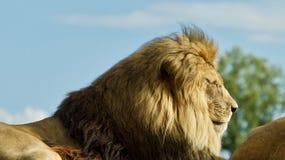 与一起放置在领域的两头狮子的图片 库存照片