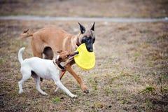 与一起玩具的二条狗作用 免版税库存图片