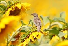 与一颗种子的一只幼小麻雀在它的额嘴 库存照片