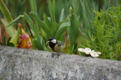 与一首小诗歌的一只山雀在额嘴 它是美丽的自然!他的头在左边有一点被掀动 图库摄影