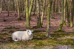 与一件厚实的冬天外套的绵羊 库存图片