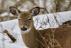与一头困野生鹿的美好的被隔绝的背景在多雪的森林里 库存照片