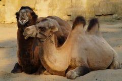 与一头幼小骆驼的骆驼 库存图片