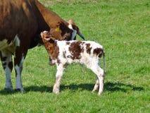 与一头正义出生的小牛的一头母牛 库存照片