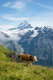 与一头母牛的美好的风景在c薄雾的山  图库摄影