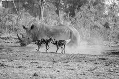与一头白色犀牛的两只非洲豺狗在黑白 免版税图库摄影