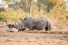与一头白色犀牛的两只非洲豺狗 免版税库存照片