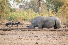 与一头白色犀牛的两只非洲豺狗 库存照片
