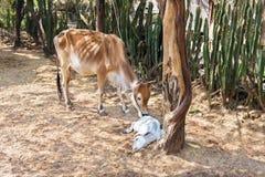与一头睡觉小牛的皮包骨头的母牛在沙漠 免版税库存照片