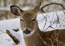 与一头滑稽的困野生鹿的美好的背景在多雪的森林里 库存图片