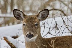 与一头滑稽的野生鹿的美好的被隔绝的图象在多雪的森林里 库存图片