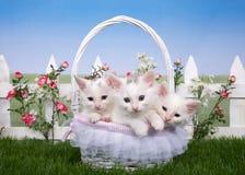 与三只白色小猫的春天篮子在庭院里 库存图片