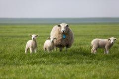 与三只羊羔的绵羊在领域 库存照片