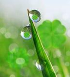 与三叶草叶子的新鲜的满地露水的绿草 免版税库存照片
