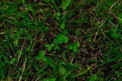 与三叶草叶子的绿草,种植 库存照片